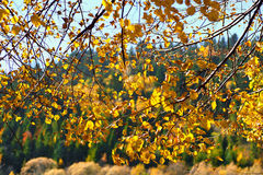 Chute de feuilles de jaune Photographie stock