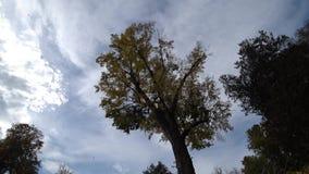 Chute de feuilles de jaune d'un arbre banque de vidéos