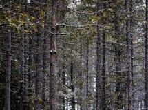 Chute de Forest During Snow d'hiver avec la chute de flocons de neige photographie stock