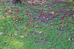 Chute de fruit de pomme de Rose au sol Photo stock