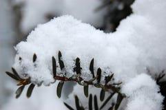 Chute de neige importante sur la branche d'arbre de sapin photos libres de droits