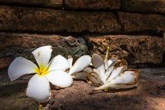 Chute de Plumeria au sol Photographie stock libre de droits
