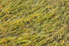 Chute de riz Image libre de droits