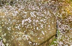 Chute des pétales de Sakura de fleurs de cerisier sur les pierres Images stock