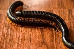 Chute noire de couples d'insectes dans l'amour Image libre de droits
