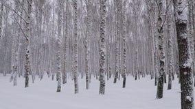 Chutes de neige dans le verger de bouleau d'hiver banque de vidéos