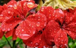 A chuva beijou flores fotografia de stock royalty free