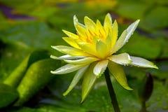 A chuva beijou o lírio de água protegido amarelo e branco bonito na lagoa fotos de stock