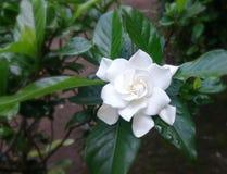 Chuva branca de Gardenia Flower After foto de stock