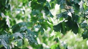 Chuva do verão entre árvores de bordo video estoque
