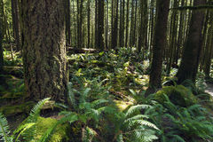 Chuva Forest Pacific North West Fotografia de Stock Royalty Free