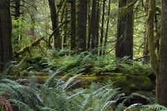 Chuva Forest Pacific North West Foto de Stock