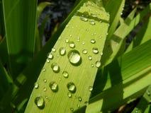 Chuva na folha da íris Fotografia de Stock