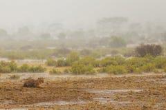 A chuva no savana Fotografia de Stock Royalty Free