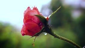 Chuva que cai na flor alaranjada de Rosa Fim acima filme