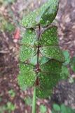 Chuva Rose Branch After carregado um chuveiro de chuva imagem de stock