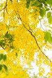 Chuveiro dourado Fotos de Stock