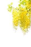 Chuveiro dourado amarelo, isolado da flor da fístula da cássia no CCB branco Fotografia de Stock
