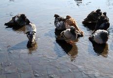 Chuveiro público das pombas Imagem de Stock