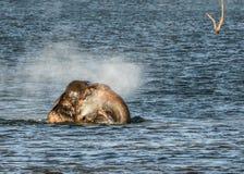 Chuveiro selvagem do elefante foto de stock royalty free