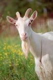 Chèvre Photographie stock libre de droits
