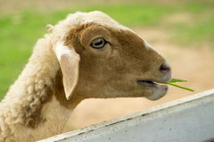 Chèvre dans le pré Photographie stock