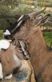Chèvre de maman avec son fils Images libres de droits