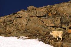 Chèvre de montagne dans les roches Image libre de droits