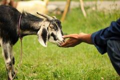 Chèvre domestique Photos stock