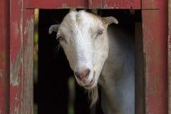 Chèvre à l'intérieur de la grange rouge Image libre de droits