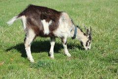 Chèvre mangeant l'herbe Photos stock