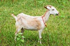 Chèvre mangeant l'herbe Images libres de droits