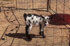 Chèvre naine nigérienne de bébé noir et blanc Photos libres de droits
