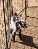 Chèvre naine nigérienne de bébé noir et blanc Photographie stock libre de droits