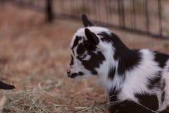 Chèvre naine nigérienne de bébé noir et blanc Image libre de droits
