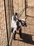 Chèvre naine nigérienne de bébé noir et blanc Photographie stock