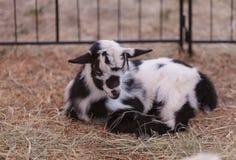 Chèvre naine nigérienne de bébé noir et blanc Images libres de droits