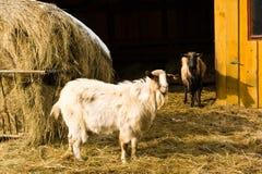 Chèvre s Photographie stock libre de droits
