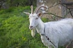Chèvre sur le vert Image libre de droits