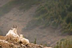 Chèvres avec une vue Images stock