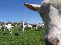 Chèvres dans un domaine Photographie stock