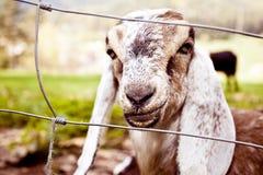Chèvres de Nubian au printemps Image libre de droits