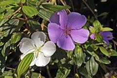 Chwały drzewo w kwiacie z swój dwa kolorów kwiatami Fotografia Royalty Free