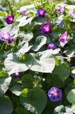 Chwalebnie błękitna ranek chwała w jaskrawym świetle słonecznym piękny fioletowy Zdjęcia Royalty Free
