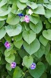 Chwalebnie ranek chwały kwitnienie w ranku piękny fioletowy Zdjęcia Royalty Free