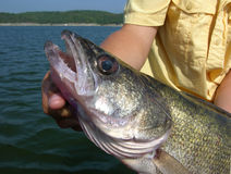 chwytów walleye Obraz Royalty Free