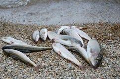 Chwyt Baikal lipień Unikalna wyśmienicie ryba na otoczaka wybrzeżu Fotografia Royalty Free