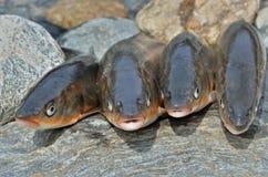 Chwyt ryba 13 Obrazy Royalty Free