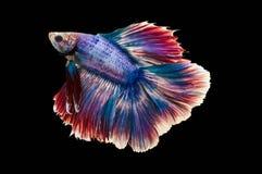 Chwyta poruszającego moment biała siamese bój ryba odizolowywająca na czarnym tle Betta ryba Obraz Royalty Free
