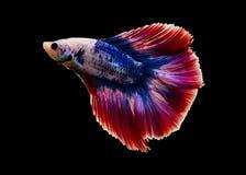 Chwyta poruszającego moment biała siamese bój ryba odizolowywająca na czarnym tle Betta ryba Obrazy Royalty Free
